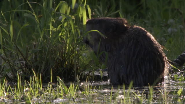 a beaver forages on grass in a wetlands and then quickly swims away. - beaver stock videos & royalty-free footage