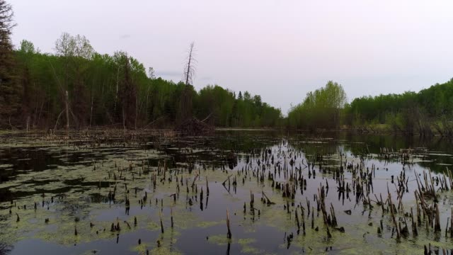 beaver habitat - beaver dam stock videos and b-roll footage