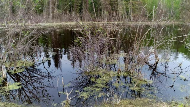 beaver habitat - beaver dam stock videos and b-roll footage