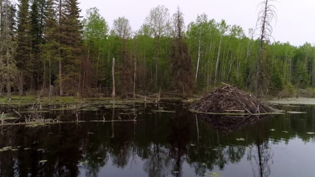 beaver habitat - boreal forest stock videos & royalty-free footage