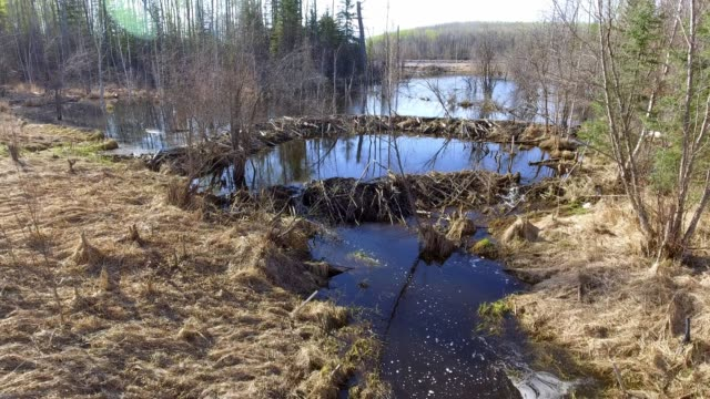 beaver habitat - beaver stock videos & royalty-free footage