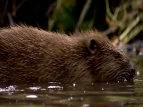 beaver, leaving  , freedom, safety, repopulation - southport england stock videos & royalty-free footage