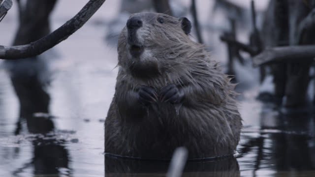 beaver (castor canadensis) looks around in icy pond, wyoming, usa - beaver stock videos & royalty-free footage