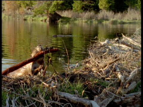 beaver manipulates branch onto dam, usa - beaver dam stock videos and b-roll footage