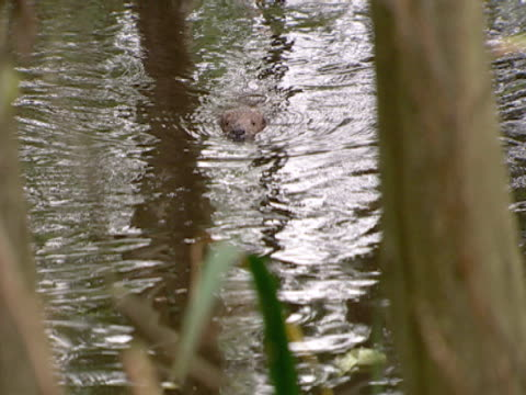beaver, mws of swimming, reintroduction, repopulation. southport, england, uk - southport england stock videos & royalty-free footage