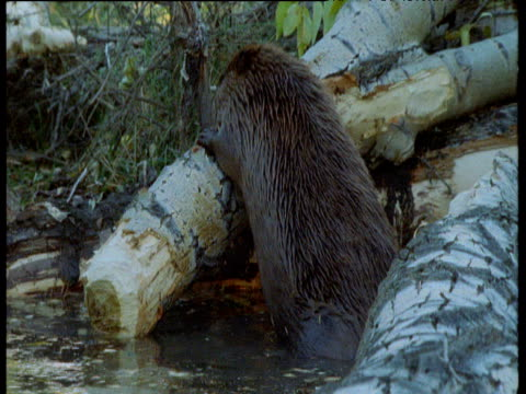 beaver pushes log onto heap to construct dam, montana - beaver dam stock videos and b-roll footage