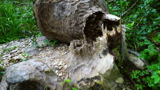 Beaver Reintroduction, Rur River, North Eifel Territory, Eifel Region, Germany, Europe