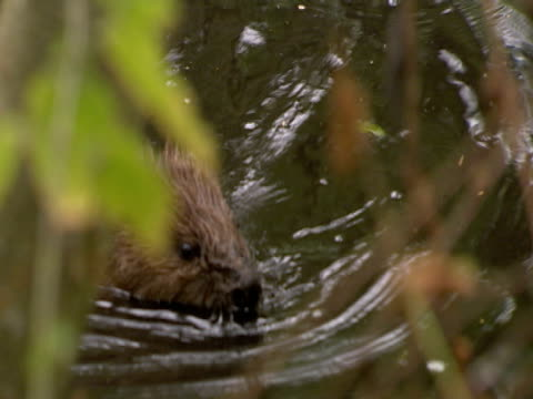 beaver, swimming, behind river bank, adventure, exploration, fun - beaver stock videos & royalty-free footage
