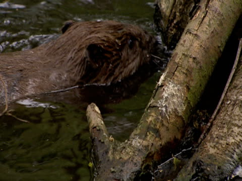 beaver, swimming, dam, freedom, conservation, preservation - beaver dam stock videos and b-roll footage