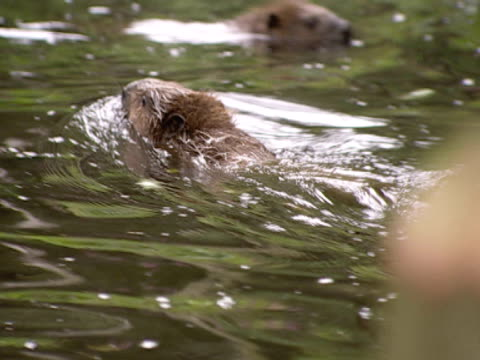 beaver, ms, swimming, disappears into burrow, safety, freedom, repopulation. southport, england, uk - southport england stock videos & royalty-free footage