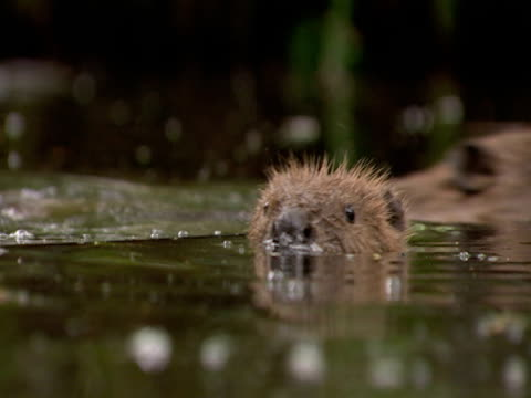 beaver, swimming, head above  , freedom, fun, enjoyment - beaver stock videos & royalty-free footage