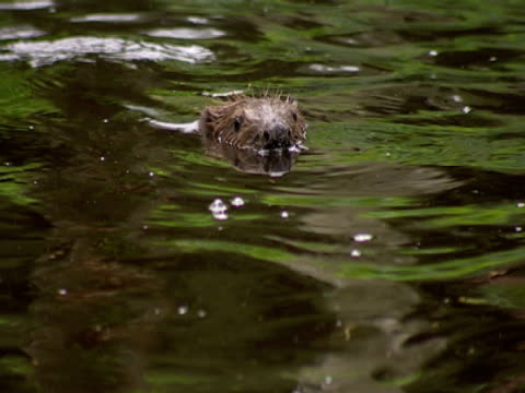 beaver, swimming, head above  , freedom, repopulation - southport england stock-videos und b-roll-filmmaterial