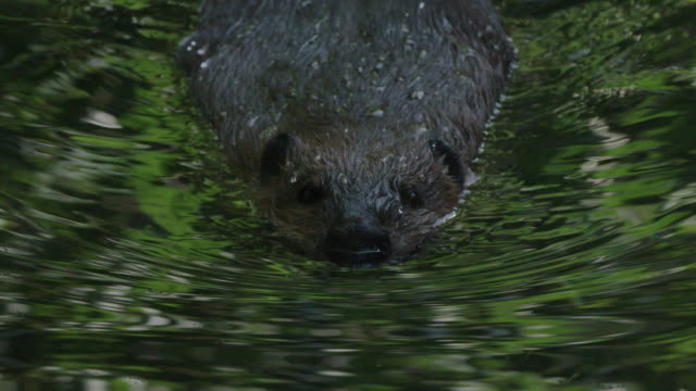 beaver swimming in pond - animal hair stock videos & royalty-free footage