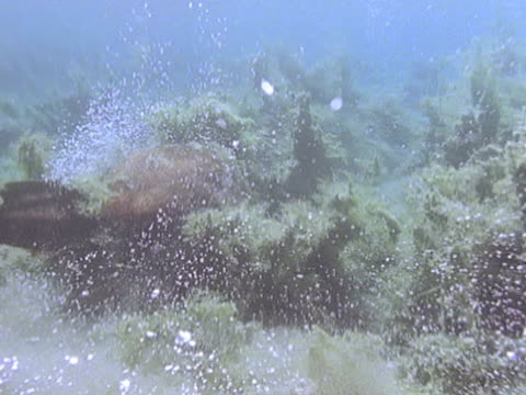 beaver swimming near bottom through plants - biber stock-videos und b-roll-filmmaterial