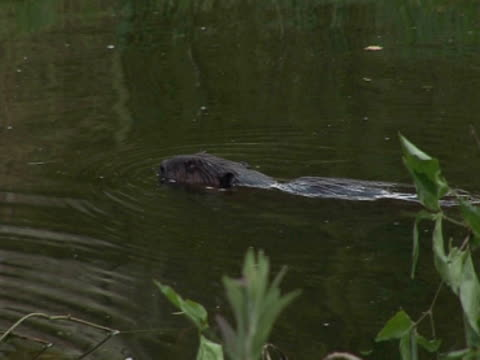 Beaver, MS, swimming, preservation, captivity, reintroduction. Southport, England, UK