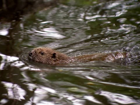 beaver swimming (castor fiber), southport, england, uk - southport england stock videos & royalty-free footage