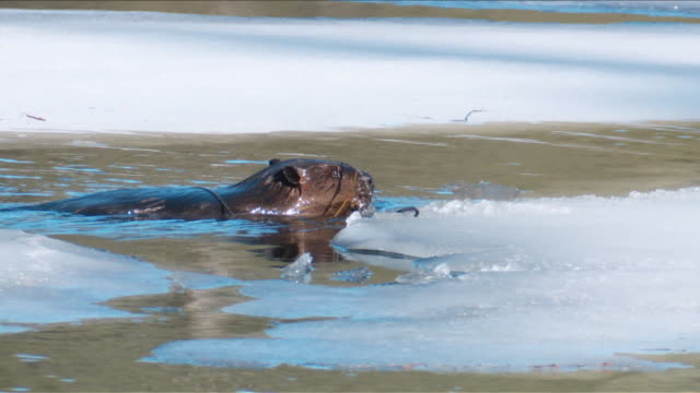 beaver swimming standing - roditore video stock e b–roll