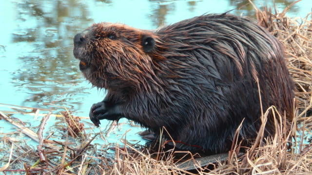 beaver swimming standing - beaver stock videos & royalty-free footage