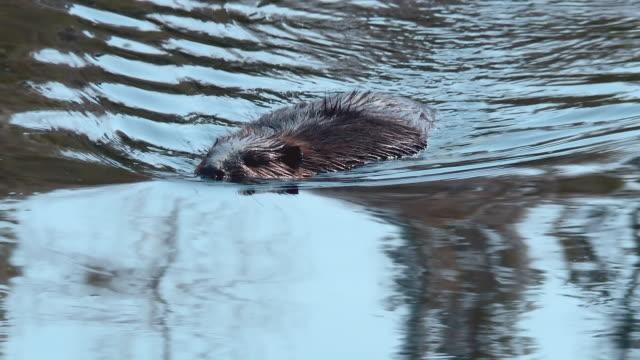 beaver swimming standing - beaver stock videos & royalty-free footage