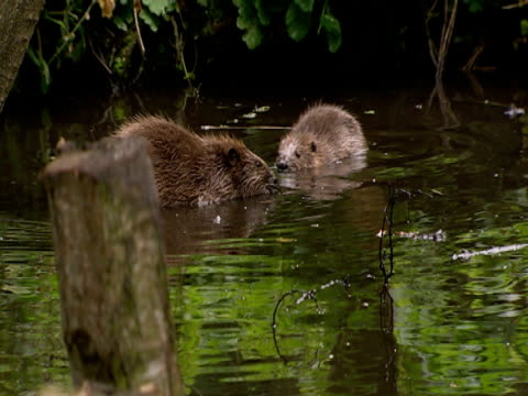 beaver, swimming, togetherness, safety, fun, freedom - southport england stock-videos und b-roll-filmmaterial
