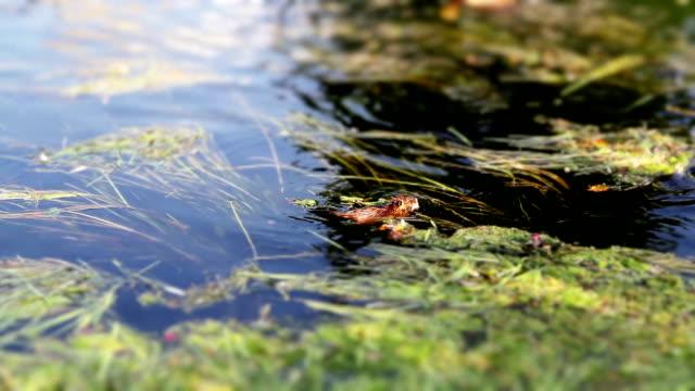 beaver swimming upstream