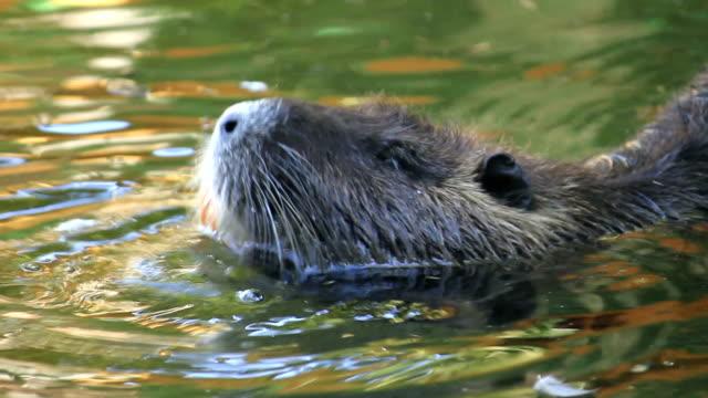 beaver swimming - beaver stock videos & royalty-free footage