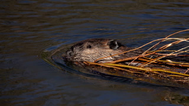 beaver swims pulls willow branch south platte river waterton canyon littleton colorado - beaver stock videos & royalty-free footage