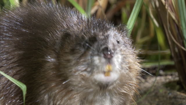 a beaver twitches its nose before creeping away. - beaver stock videos & royalty-free footage