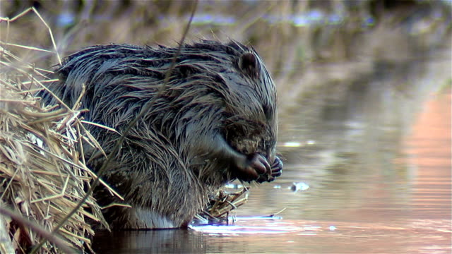 beaver washes. - beaver stock videos & royalty-free footage