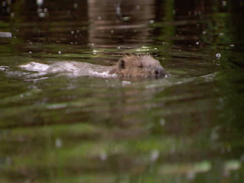 beaver x 3, mcu, swimming, fun, freedom, family, security . southport, england, uk - southport england stock videos & royalty-free footage