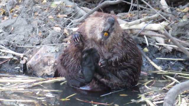 beavers have a split toe on their hind feet which they use to comb oils into their fur, which helps them stay waterproof. it can be very entertaining... - beaver stock videos & royalty-free footage