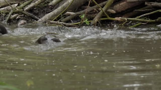 beavers have been born in essex for the first time since the middle ages, conservationists have said. the mammals had been hunted to extinction for... - beaver stock videos & royalty-free footage