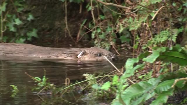 beavers re-introduced to somerset in attempt to curb flooding; england: somerset: ext various of beavers swimming. - beaver stock videos & royalty-free footage