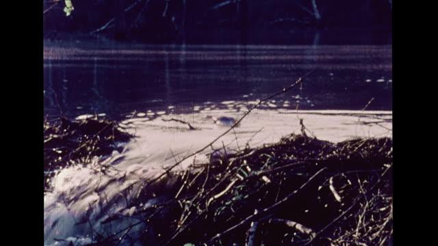 vidéos et rushes de beavers swimming underwater near dam made of sticks amp twigs standing up marshland w/ tall grasses rodents mammals keystone species wildlife ponds... - castor rongeur
