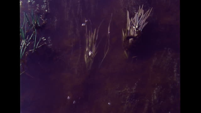 beavers working in natural habitat walking on land swimming in pond stream carrying twigs sticks cutting branch w/ teeth building dam across water... - beaver building dam stock videos and b-roll footage
