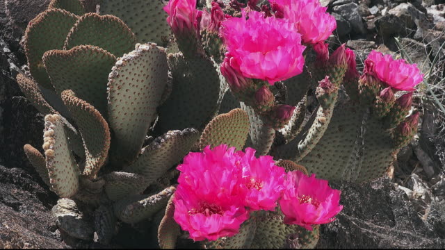 beavertail cactus, opuntia basilaris, flower close up,  joshua tree national park - joshua tree national park stock videos & royalty-free footage