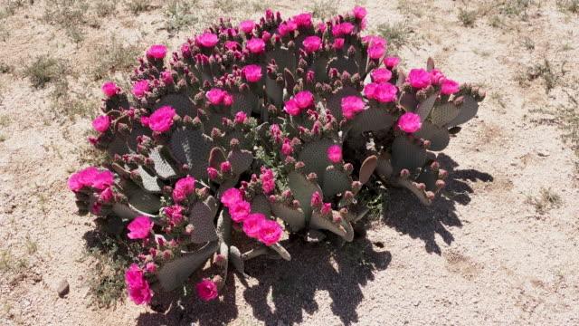 beavertail cactus, opuntia basilaris, joshua tree national park - cactus stock videos & royalty-free footage