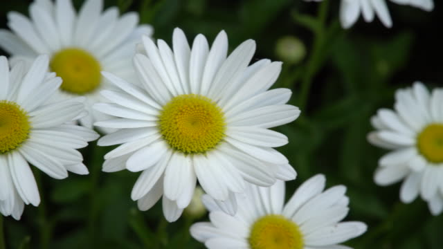 bed of daisies - daisy stock videos & royalty-free footage