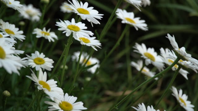 bed of daisies - chrysanthemum stock videos & royalty-free footage