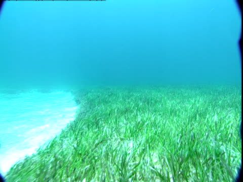 A bed of seagrass grows along the sandy seabed in the Bahamas.