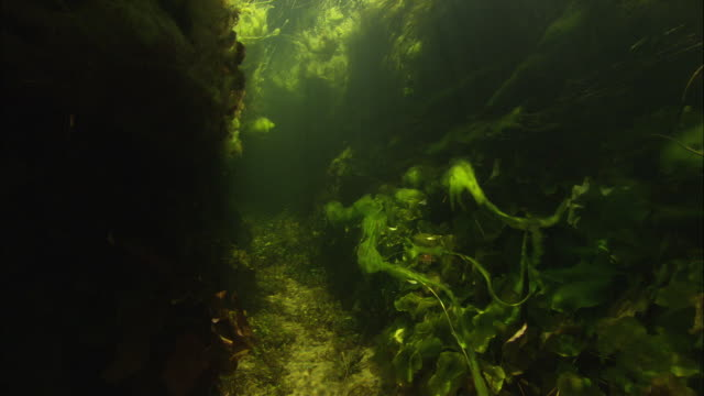 a bed of seaweed and other plants grows underwater. available in hd. - wasserpflanze stock-videos und b-roll-filmmaterial