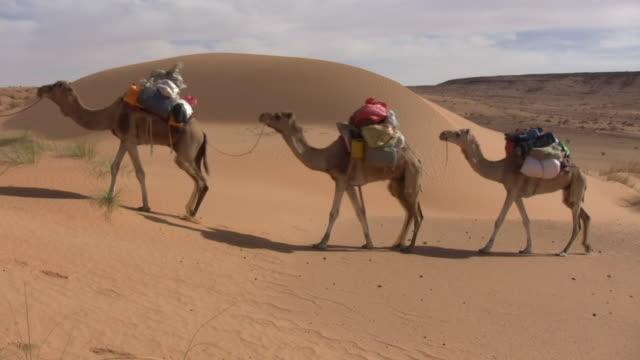 WS Bedouin leading camels in desert / Zouerat, Tiris Zemmour, Mauritania