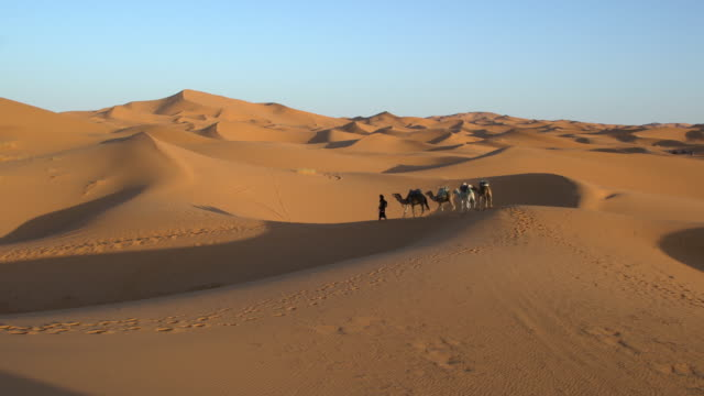 Bedouin man leading camel caravan among the dunes of Erg Chebbi in Saharan Morocco early in the morning