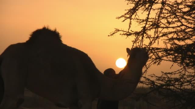 ms bedouin pulling tree while camel picking up dry thorns / zouerat, tiris zemmour, mauritania - モーリタニア点の映像素材/bロール