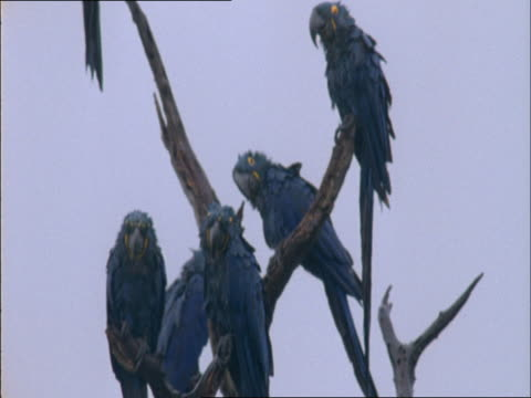 bedraggled hyacinth macaws perch in a dead tree in the rain. - perching stock videos & royalty-free footage