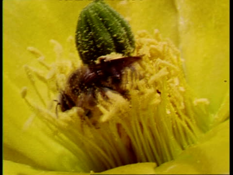 CU Bee among stamina of Prickly pear cactus, Opuntia polyacantha, USA