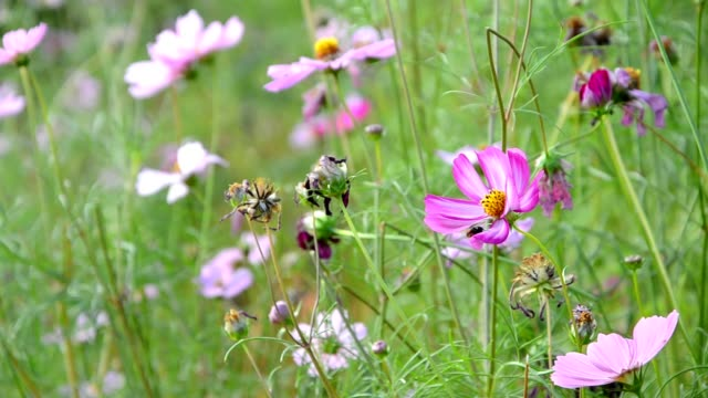 Bee and pink cosmos flowers
