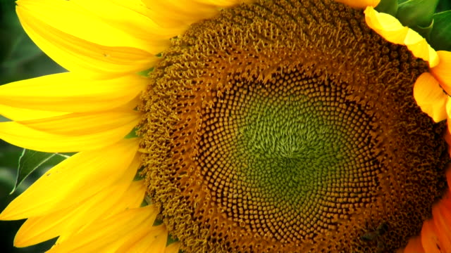 bee and sunflower - animal antenna stock videos & royalty-free footage