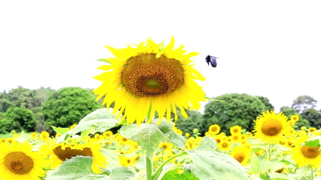 bee and sunflower - assertiveness stock videos & royalty-free footage