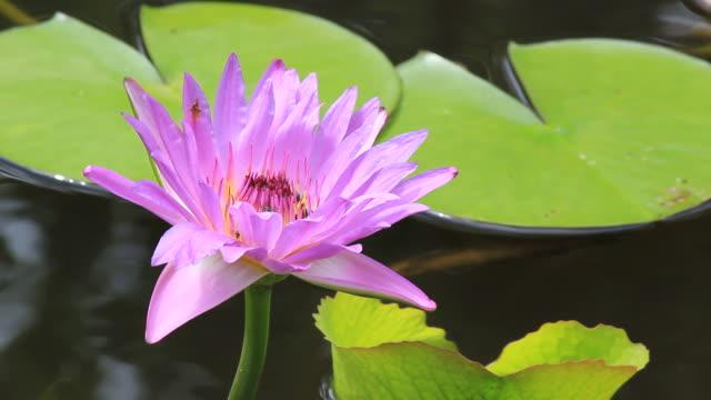 stockvideo's en b-roll-footage met bee and water lily. - lotuspositie